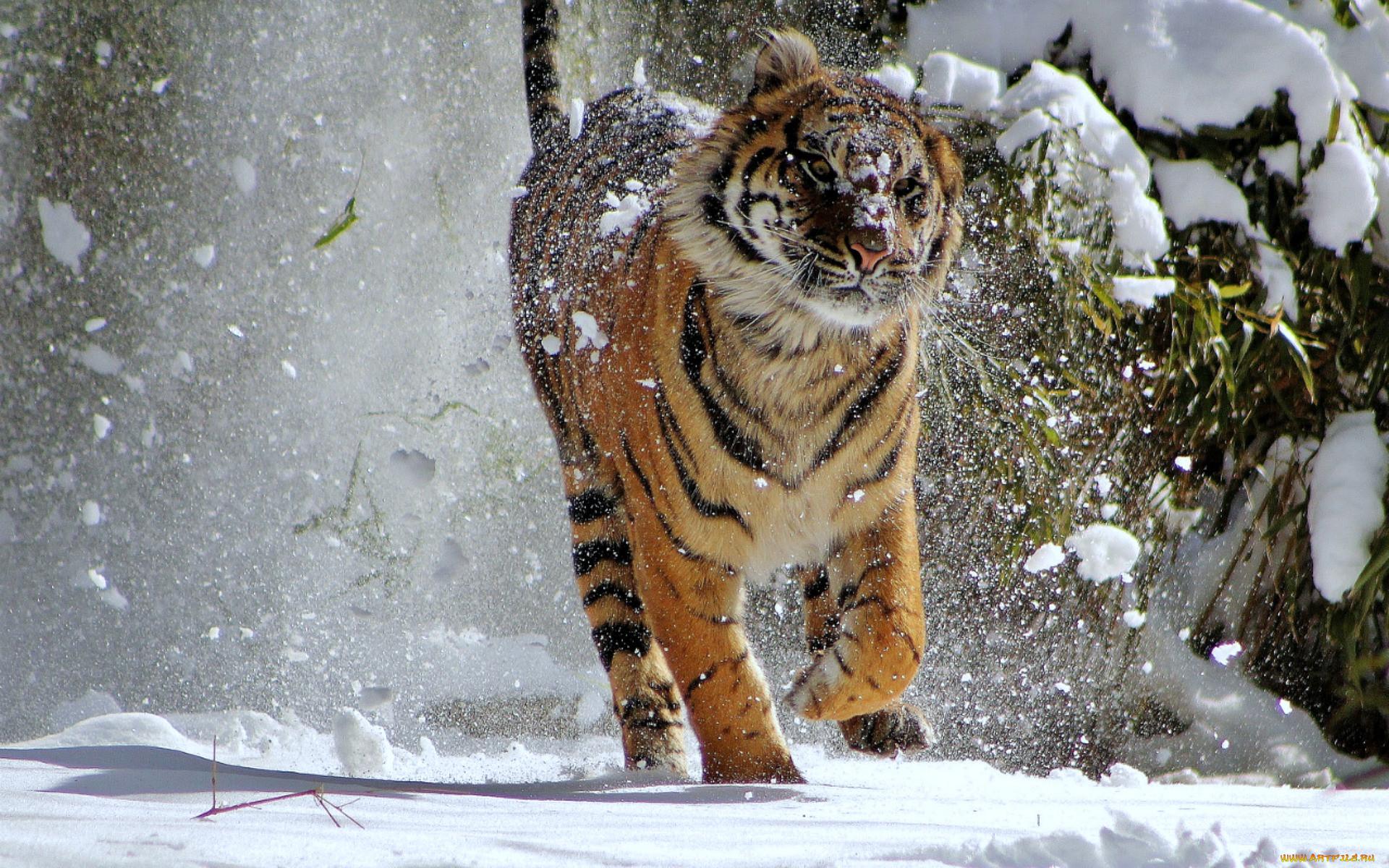 картинка тигр и снег закрывает нижнюю часть